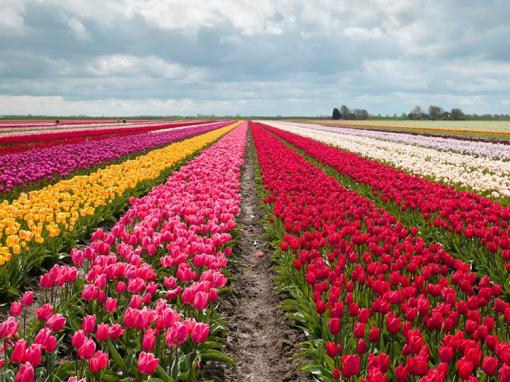 Tulip Flower Fields and Keukenhof Garden Tour